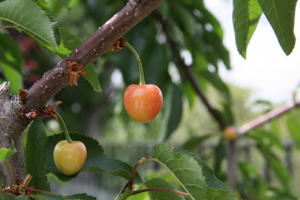 Tophers world home page - Romanian cherry tree varieties ...